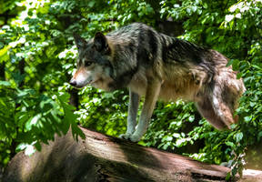Mexican Wolf Stock: 44 by HOTNStock