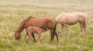 Horse Stock 7: Nursing Foal by HOTNStock