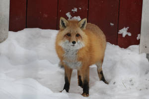 Red Fox Stock 11 by HOTNStock