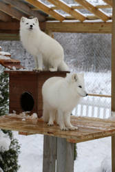 Arctic Fox Stock 13 by HOTNStock