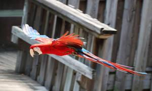Bird Stock 14: Scarlet Macaw Flying by HOTNStock