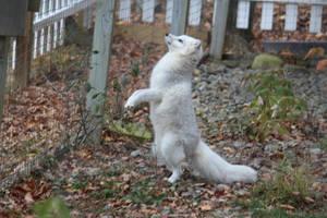 Arctic Fox Stock 16: Standing by HOTNStock