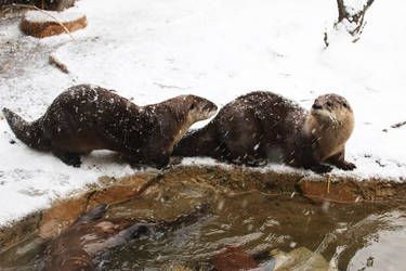American River Otter Stock 9 by HOTNStock