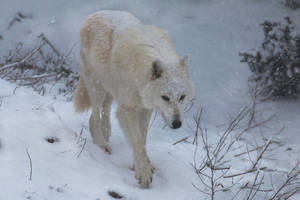 Gray Wolf Stock 43: Snowstorm by HOTNStock