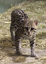 Ocelot Stock 20 by HOTNStock