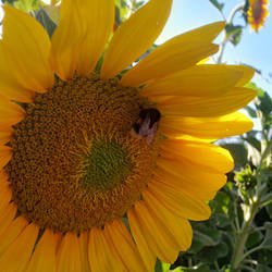 Sonnenblumen 180759 hdr by henrynick