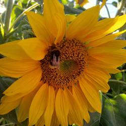 Sonnenblumen 180810 hdr by henrynick