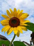sunflower by clandestine-stock