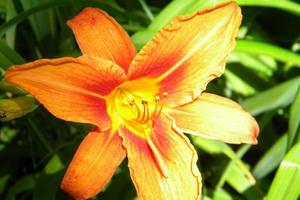 Tiger Lily V by charliemarlowe