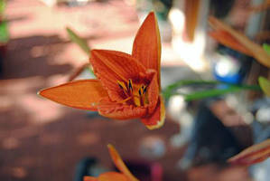 Tiger Lily IX by charliemarlowe