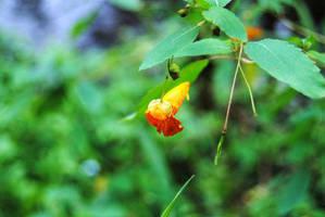 Waupaca: Jewelweed I by charliemarlowe