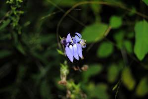 Plamann Park: Blue Lobelia by charliemarlowe