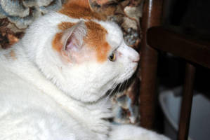Domesticated Cat: Buddy I by charliemarlowe