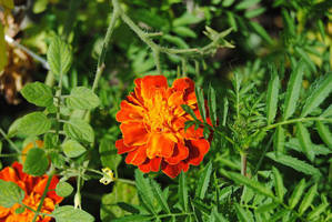 Red and Yellow Marigold I by charliemarlowe