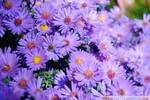 Purple Asters I by charliemarlowe