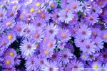 Purple Asters II by charliemarlowe