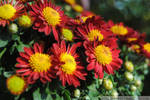 Red and Yellow Mums II by charliemarlowe