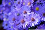 Purple Asters III by charliemarlowe