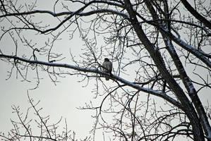 Hawk Flying by charliemarlowe