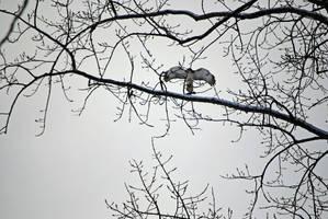 Hawk Flying II by charliemarlowe