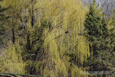 Plamann Park- Weeping Willow by charliemarlowe