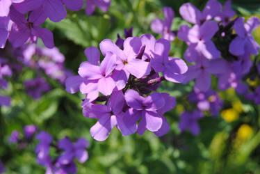 2012-05-16 Lilacs by charliemarlowe