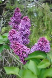2015-05-20 Lilacs by charliemarlowe