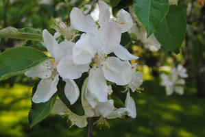 2016-05-21 Pear Blossoms by charliemarlowe