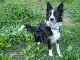 Border Collie STOCK 2 by Miahii