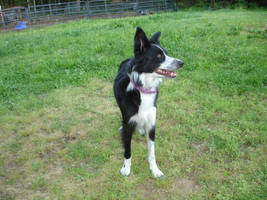 Border Collie STOCK 4 by Miahii