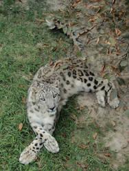 Snow Leopard pose 2 by Scoiattolina