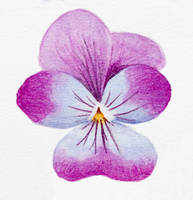 Pansy practice 04 by l-Zoopy-l