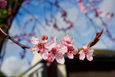 Cherry Blossom Dream by Light-Sensei