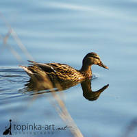 duck by topinka