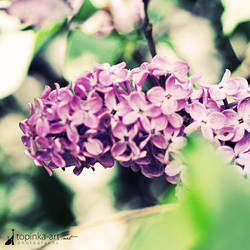 lilac by topinka