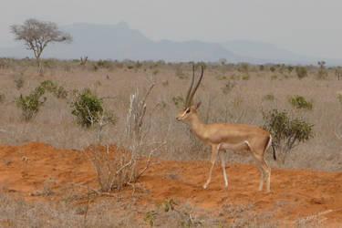Grant's Gazelle by Barwickian