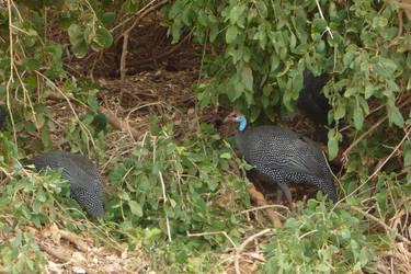 Helmeted Guinea Fowl by Barwickian