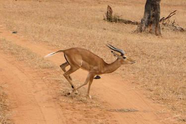 Running Impala by Barwickian