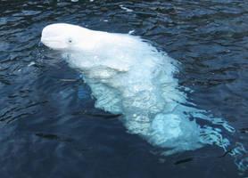 beluga by whisperingforest
