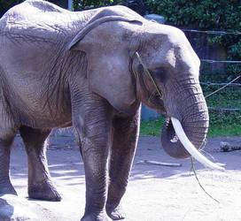 African Elephant 003 by Elluka-brendmer