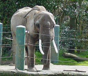 African Elephant 006 by Elluka-brendmer