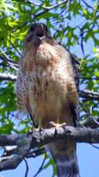 Red Shoulder Hawk 002 by Elluka-brendmer