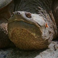 Snapping Turtle 003 by Elluka-brendmer