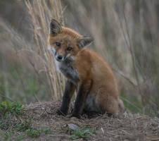Red Fox 009 by Elluka-brendmer