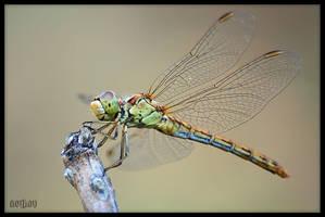 colourful dragonfly by serkanavcioglu