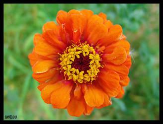 orange flower by serkanavcioglu