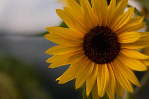 Sunflower by gidl
