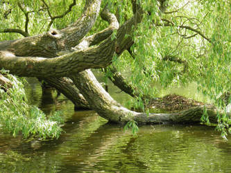 Weeping Willow by tamaraR-stock