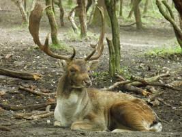 Deer by tamaraR-stock