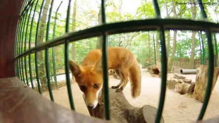 Wide-Angle Fox by B-JacobDawson